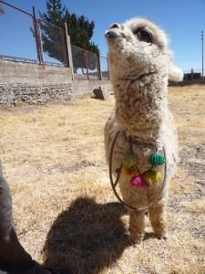 sweet Peruvian alpaca