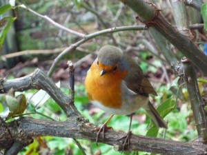 our friendly robin